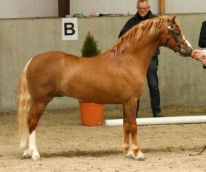 Frisia's Chestnut Gold